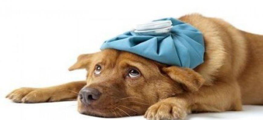 Köpek Hastalıkları ait tanıtım resmi