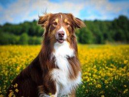 Köpek Eğitimi Videosu Kapak Resmi